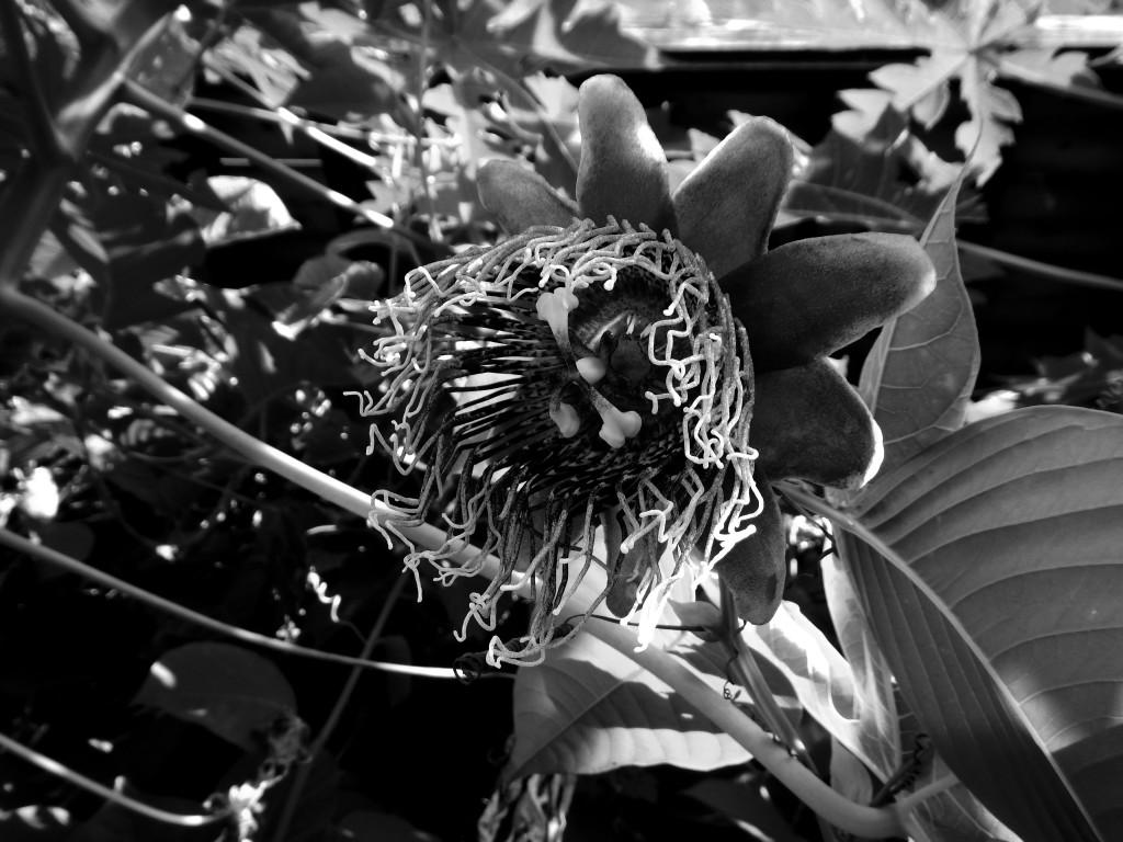 flor tropical b&n